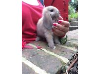 Mini Lop Buck for Reserve