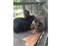 2 lovely female rabbits