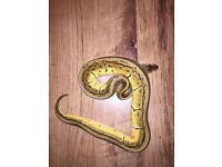 Male lemon blast Royal Python snake