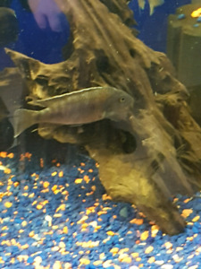 Various African cichlids and pleco for sale