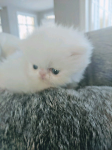 Persian kittens available !Updated photos!