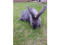 Blue Continental Giant Rabbit