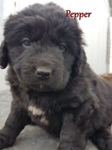 Bernefie  Newfie x Bernese   Call or text only