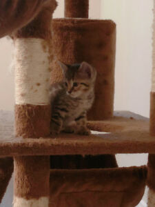 Male Bengal kitten looking for home