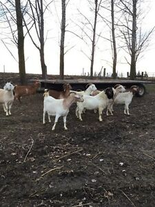 Boer Goats , Nannies and Yearlings  Stratford Kitchener Area image 1