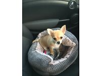 GIRL chihuahua puppy for sale
