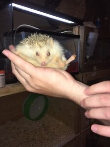 Friendly hedgehogs for sale