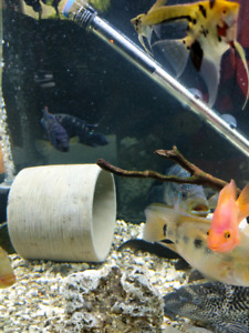 Looking for half to full grown S. American or NW Cichlids