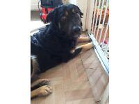 Alsatian X collie pup