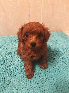ONE FEMALE - Tiny Brown Toy Poodle Puppy looking for new homes