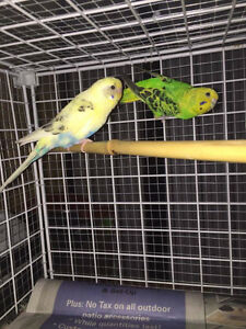 3 pairs of breeding budgie for sale $40 for per pair