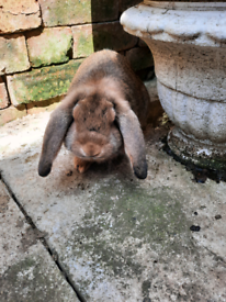 Giant French lop baby rabbits for sale