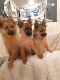 4 Beautiful Pomeranian Puppies