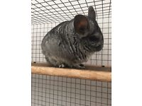 Free chinchilla to a new good home