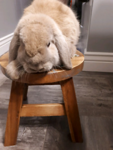 Free bunnys  lop ear and rex lionhead