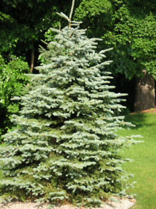 5 BEAUTIFUL BLUE SPRUCE TREES