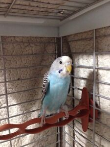 Lost Budgie in Ladysmith!