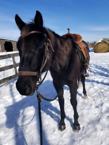 Beginner safe trail horse