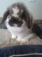 Purebred Holland Lop Doe Rabbit to good home