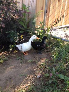 2 ducks to trade for 2 black hens