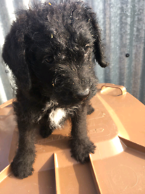 Patterpoo pup for sale