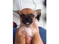 Only one chihuahua puppy left ready now £375