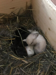 Adorable Purebred  Baby Holland Lop Bunnies