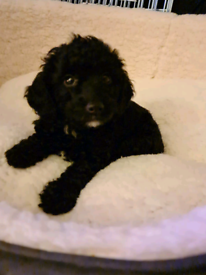 Cockapoo pup 8 weeks old