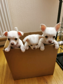 KC Reg Smooth haired Chihuahua pups