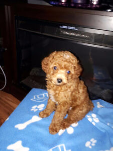 3 toy poodles (males)
