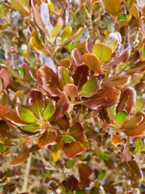 4ft evergreen Coprosma Pacific Night shrub / bush