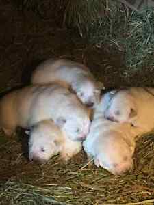 Purebred Great Pyreneese puppies