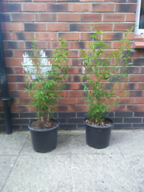 Bamboo in plant pot planter
