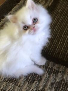 3 Gorgeous CPC Persian Male Kittens Available