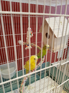 Pair of budgie, 2yrs old