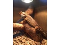 Bearded Dragon 18months old needs a new home