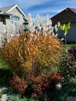 Ornamental Grass, Lilac - Moscow Beauty, everberring srawberries
