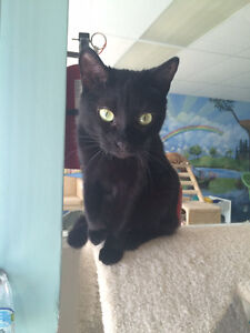"Short haired black cat ""Luna"" London Ontario image 3"