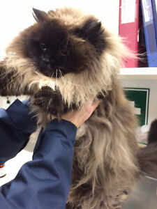 Does anyone recognize these cats? Himalayan / Ragdoll