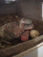 Baby English Budgies ready to go in a few weeks!