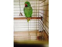 Indian RingNeck With Cage