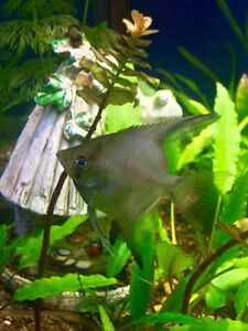 May Special 50% off Black/Grey Angel fish