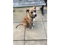 American bulldog staffie 8 month old girl