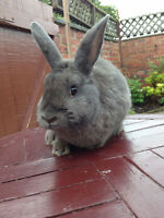 Blue Rex rabbit for sale