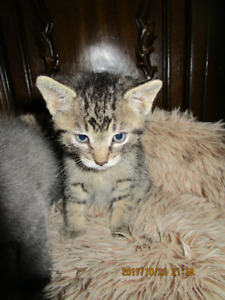 Chaton à adopter / Kittens to adopt
