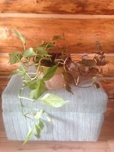 2 plants (vines) in a shiny gold tin flowerpot