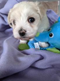 Gorgeous Maltese Puppy