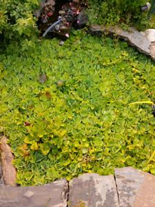 Pond plants and koi