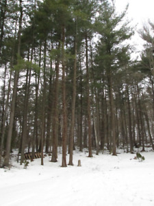 Standing timber White Pine trees for sale