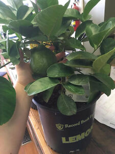 Ponderosa and Eureka Lemon Trees for sale @ T-Pets